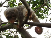 Baby male spotted cuscus. On a guava tree branch in the mountains of Papua New Guinea in search of food Stock Photography