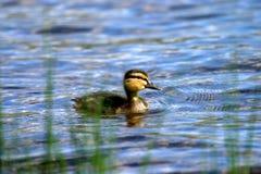 Baby mallard. Down feather mallard duck baby pond lake river wetland RSPB swim paddle beak water Royalty Free Stock Photography