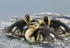 Baby Mallard Duck Stock Photo