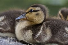 Baby mallard duck Royalty Free Stock Photography
