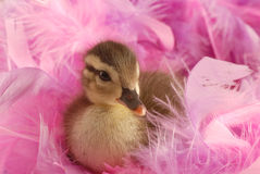 Baby mallard duck. Surround by pink feathers Royalty Free Stock Photo