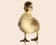 Free Baby Mallard Duck Stock Images - 9876854