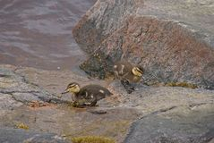 Baby Mallard Duck. Immature Mallard duck not far from there mother. But close enough to me Stock Image