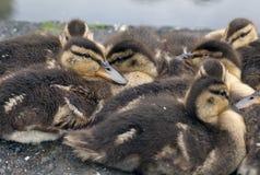 Baby mallard duck on rock. In central park Stock Photos
