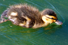 Baby Mallard. Duck swimming in the pond Royalty Free Stock Photography
