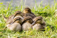Baby mallard ducklings cuddle together f. Or warmth at the riverside Royalty Free Stock Photography