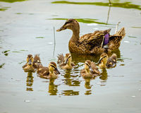 Baby mallard ducklings with mother. In background Royalty Free Stock Photography