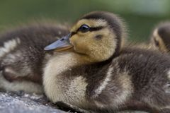 Baby Mallard ducks Stock Image