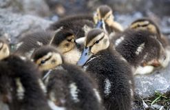 Baby Mallard ducks Stock Photos