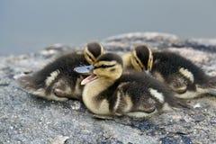 Baby Mallard ducks Stock Photography