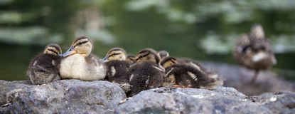 Baby Mallard ducks. Huddled on rocks in Central Park royalty free stock photo