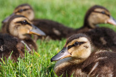 Baby Mallard ducks Stock Images