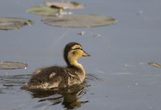 Baby Mallard. Picture of a baby mallard taken at Point Pelee Stock Photos