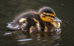 Baby Mallard. Baby Wild duck swimming in the water Royalty Free Stock Photography