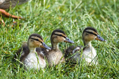 Baby Mallards. Three mallard ducklings sitting in the grass, looking in the same direction Royalty Free Stock Image