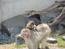 Baby and mama snow monkey Stock Image