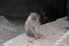 Baby-Mandrill-Affe am Artis-Zoo Amsterdam die Niederlande Stockfoto