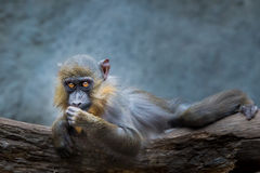 Baby Mandrill Royalty Free Stock Image