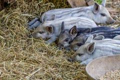 Baby Mangalitsa Piglets on Organic Farm Royalty Free Stock Photos