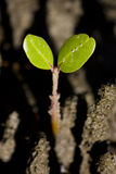 Baby Mangrove Shoot. A Baby Mangrove Sprouts Up With Two Green Leaves From The Ground Of A Silty Tropical Salt Water Wetland Stock Photos