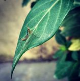 A baby mantis. On a leaf waiting for her first prey. Wild royalty free stock photos