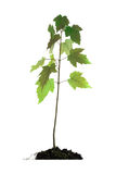 Baby Maple Tree in Root Ball Stock Image