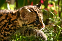 Baby Margay. Walking in the forest Royalty Free Stock Images