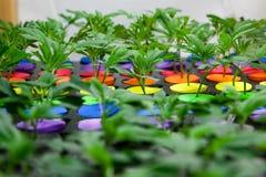 Baby marijuana in starters stock photography