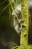 Baby Marmoset monkey clinging on a branch Stock Photos
