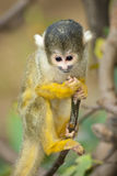 Baby Marmoset Monkey Clinging On A Branch Royalty Free Stock Photo