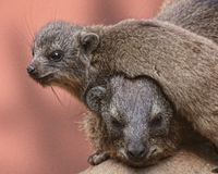 Baby marmot rests on mother. 's neck Royalty Free Stock Photo