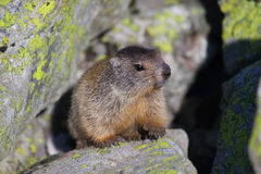 Baby marmot. On the rock Royalty Free Stock Image