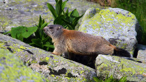 Baby marmot. On the rock Stock Image