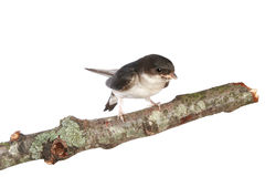 Baby martin on a branch Royalty Free Stock Image
