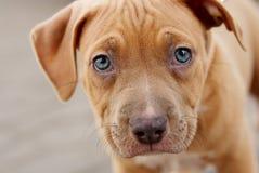 Baby mastiff Royalty Free Stock Photo