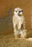 Baby Meerkat Stock Photo