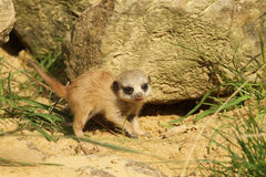 Baby Meerkat Royalty Free Stock Photography