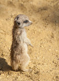 Baby Meerkat Royalty Free Stock Photo