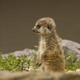 Baby Meerkat stock afbeelding