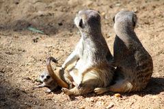 Baby Meerkat with adults Stock Photography