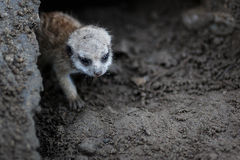 Baby meerkat Royalty Free Stock Images
