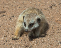 Baby Meerkat. Digging and playing Royalty Free Stock Photo