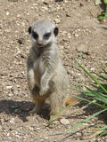 Baby meerkat Stock Photography