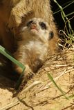 Baby meerkat looking up Stock Photo