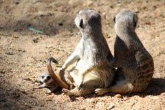Baby Meerkat met volwassenen stock fotografie