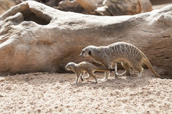 Baby Meerkat and mother Stock Image