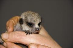 Baby meerkat (Suricata suricatta) Royalty Free Stock Photography