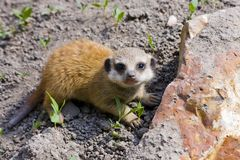 Baby meerkat (Suricata suricatta) Stock Photo