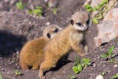 Baby meerkat (Suricata suricatta). A some weeks old baby meerkat royalty free stock photography