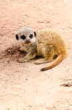 Baby Meerkat Young Pup Mongoose Mammal Vertical Stock Photography
